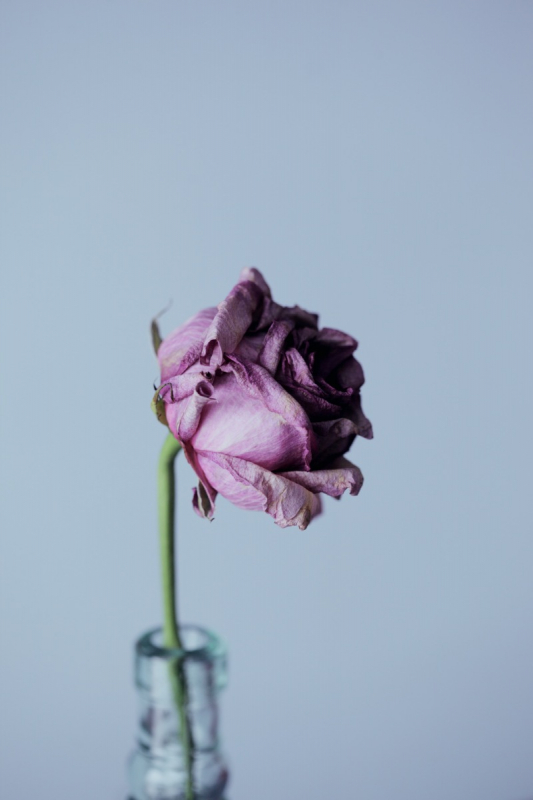 droge paarse roos in vaas